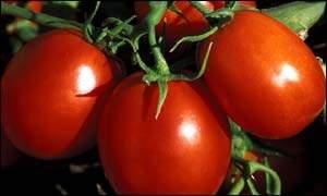 番茄的新功能:多吃防晒霜